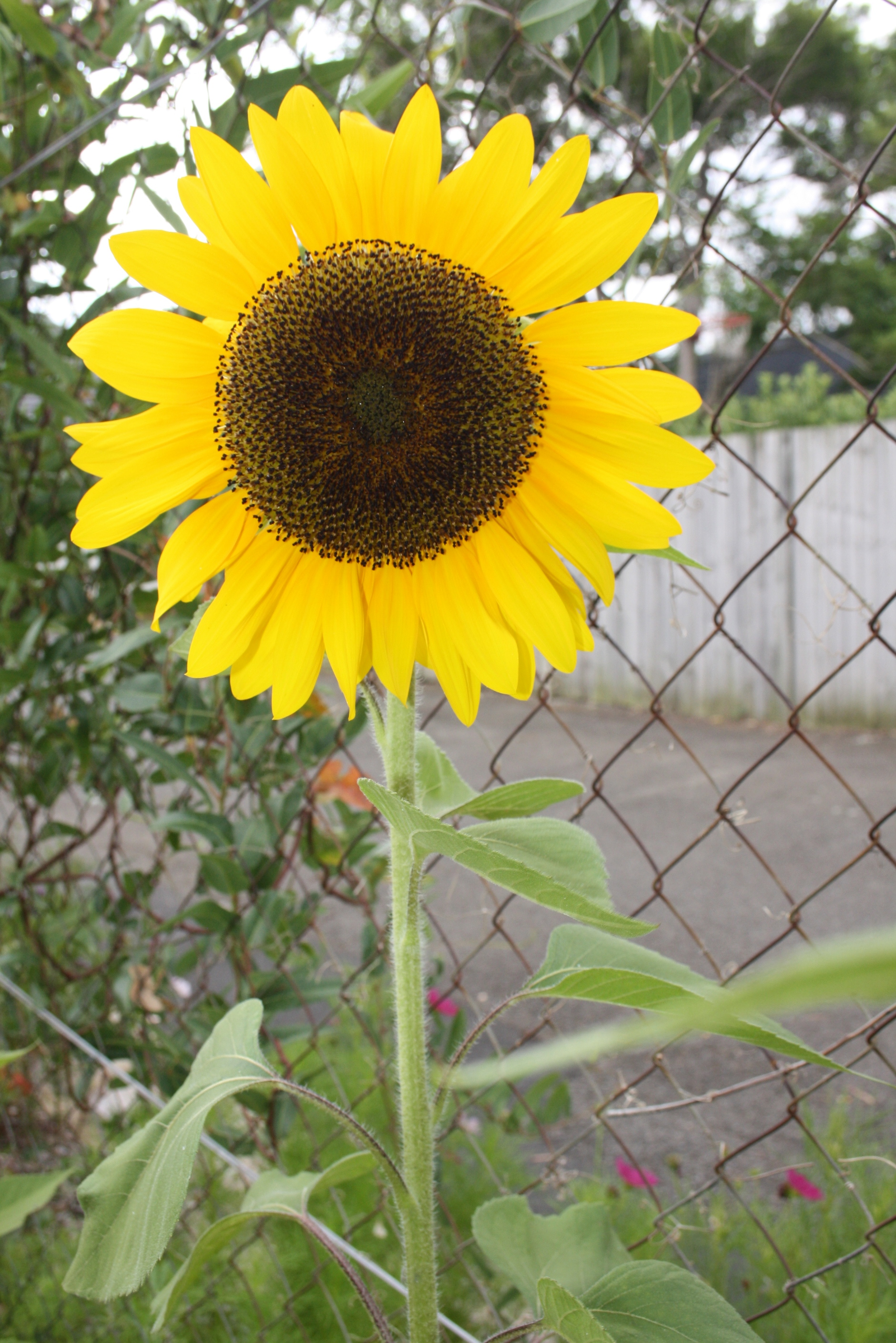 sunflower IMG_6374